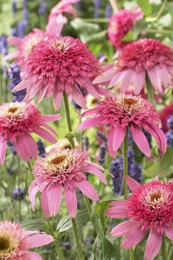 Echinacea 'Pink Double Delight', Coneflower 'Pink Double Delight', Echinacea Purpurea 'Pink Double Delight', Rudbeckia Purpurea 'Pink Double Delight', Hedgehog Coneflower 'Pink Double Delight', Black Samson 'Pink Double Delight', Pink coneflower, Pink con