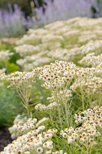 Anaphalis Margaritacea, Pearly Everlasting, wild flower, white flowers