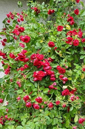 Rose ''Flammentanz', Rosa 'Flammentanz'', Rambling Rose 'Flammentanz', Climbing rose 'Flammentanz', Rose 'Flame Dance', Rose 'Flaming Dance', Rose 'Korflata', Rose 'Vlammenspel', Rambler Roses, Climbing Roses, Red roses