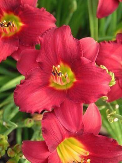 Hemerocallis 'Pardon Me', Daylily 'Pardon Me', Day Lily 'Pardon Me', 'Pardon Me' Daylily, daylilies, Daylily, Day Lilies, Red flowers, Red day lily, Red Daylily, Hemerocallidaceae, perennial, plant