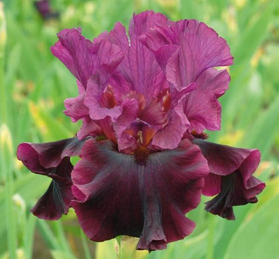 Iris 'Silken Trim', Tall Bearded Iris 'Silken Trim', Iris Germanica 'Silken Trim', Late Season Irises, Purple Irises