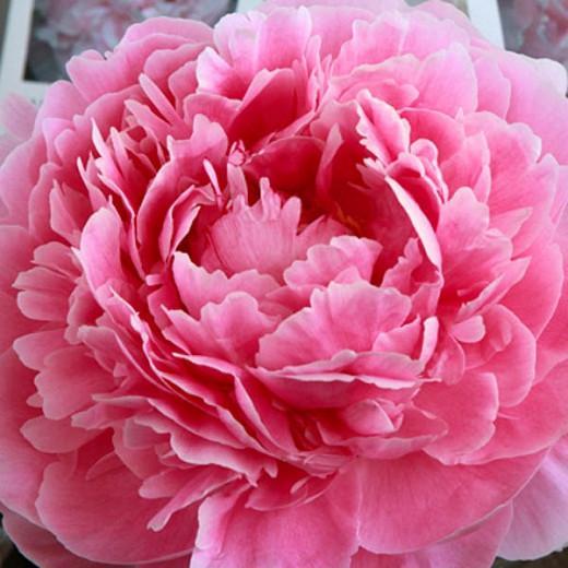 Paeonia Lactiflora 'Sarah Bernhardt', Peony 'Sarah Bernhardt', 'Sarah Bernhardt' Peony, White flowers, White Peonies, Pink Flowers, Pink Peonies, Fragrant Peonies