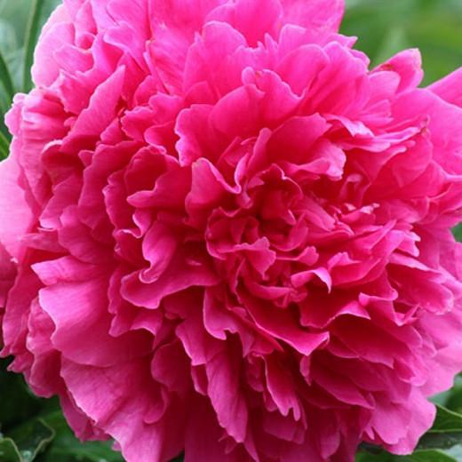 Paeonia Lactiflora 'Felix Crousse', Peony 'Felix Crousse', 'Felix Crousse' Peony, Chinese Peony 'Felix Crousse' , Common Garden Peony 'Felix Crousse', Red Flowers, Red Peonies, Fragrant Peonies