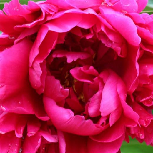 Paeonia Lactiflora 'Karl Rosenfield', Peony 'Karl Rosenfield', 'Karl Rosenfield' Peony, Chinese Peony 'Karl Rosenfield', Common Garden Peony 'Karl Rosenfield', Red Flowers, Red Peonies