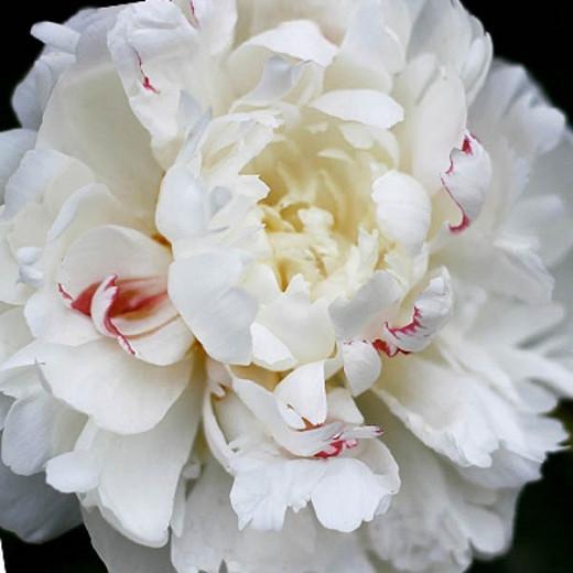 Paeonia 'Festiva Maxima', Peony 'Festiva Maxima', 'Festiva Maxima' Peony, Chinese Peony 'Festiva Maxima', Common Garden Peony 'Festiva Maxima', White Peonies, White flowers, Fragrant Peonies