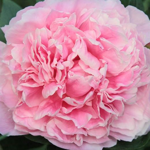 Paeonia Lactiflora 'Lady Alexandra Duff', Peony ''Lady Alexandra Duff', ''Lady Alexandra Duff' Peony, Chinese Peony ''Lady Alexandra Duff', Common Garden Peony ''Lady Alexandra Duff', Pink Peonies, Pink Flowers, Pink Peonies, Fragrant Peonies