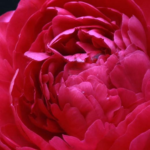 Paeonia 'Kansas', Peony 'Kansas', 'Kansas' Peony, Chinese Peony 'Kansas' , Common Garden Peony 'Kansas', Red Peonies, Red Flowers, Red Peonies