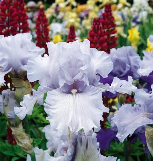 Iris 'Silverado', Tall Bearded Iris 'Silverado', Iris Germanica 'Silverado', Midseason Irises, Award Irises, White Irises, Lavender Irises
