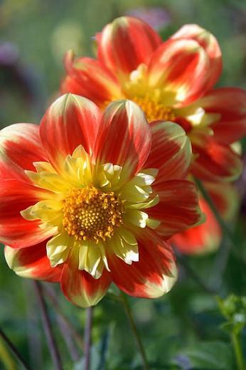 Dahlia 'Pooh', 'Pooh' Dahlia, Collarette Dahlias, Dahlias, Red Dahlia Flowers, Bicolor Dahlias, Dahlia Tubers, Dahlia Bulbs, Dahlia Flower, Dahlia Flowers, summer bulbs