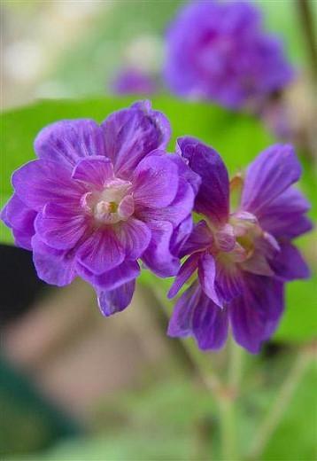 Geranium Pratense 'Plenum Violaceum', Meadow Cranesbill 'Plenum Violaceum', Geranium Pratense 'Flore Pleno', Geranium Pratense 'Plenum Purpureum', Geranium Pratense var. Flore-Pleno', Purple Geranium, Best geraniums, Best groundcovers