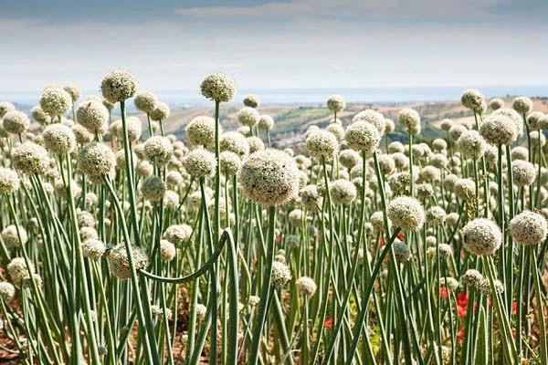 Allium Schoenoprasum, Chives, Cive, Onion Grass,