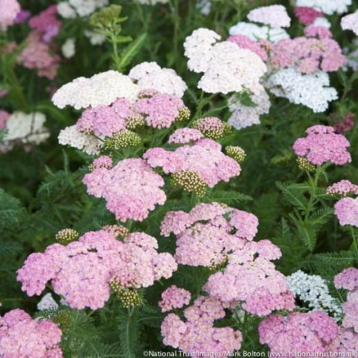 Achillea Millefolium 'Summer Pastels', Achillea 'Summer Pastels', 'Summer Pastels' Yarrow, Common Yarrow, Achillea Millefolium, yarrow plant, yarrow flower, summer perennial, drought tolerant perennial