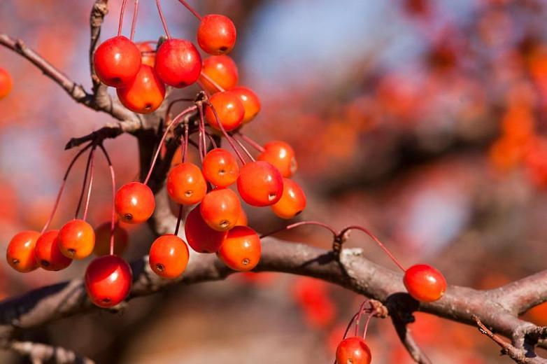Malus 'Indian Magic', Crabapple 'Indian Magic', Crab Apple 'Indian Magic', Fragrant Tree, Red fruit, red berries, Winter fruits, Pink flowers,