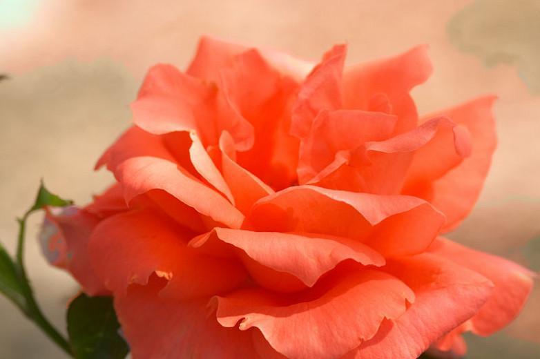Rosa 'Maria Stern', Rose 'Maria Stern', Hybrid Tea Roses, Shrub Roses, Sub-Zero Series, Orange Roses, Orange Flowers