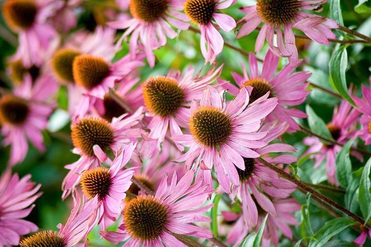 Echinacea Purpurea 'Rubinglow', Coneflower 'Rubinglow', Echinacea 'Rubinglow', Purple Coneflower, Purple Echinacea, Echinacea Purpurea, Pink Coneflower, Pink Echinacea