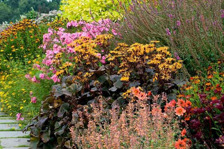 Ligularia 'Britt Marie Crawford', Leopard Plant 'Britt Marie Crawford', Perennials, Yellow Flowers