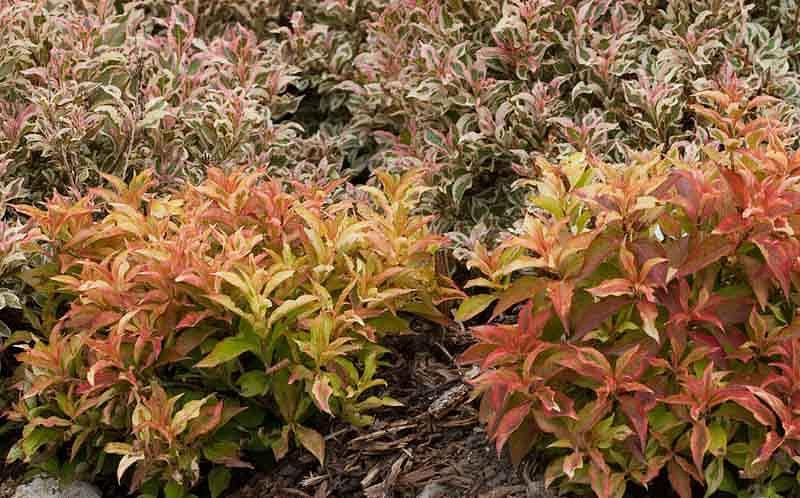 Weigela florida My Monet® 'Sunset', My Monet Sunset Weigela, Flowering Shrub, Pink Flowers, Variegated foliage, Red foliage, Red Leaves, Orange Foliage, Orange Leaves