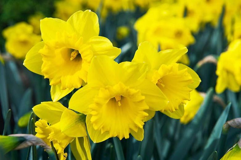 Narcissus Dutch Master Trumpet Daffodil