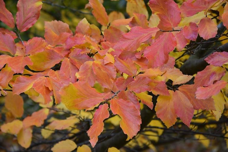 Parrotia persica 'Vanessa', Persian Ironwood 'Vanessa', Tree with fall color, Fall color, Attractive bark Tree, Peeling Bark