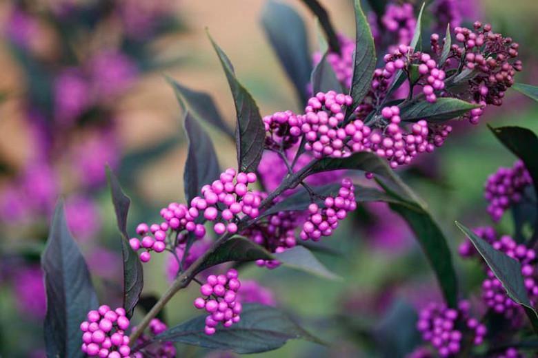 Callicarpa 'Pearl Glam', Beautyberry 'Pearl Glam', Purple Beautyberry, Shrub, Purple Berries, Flowering Shrub, Purple Fruit