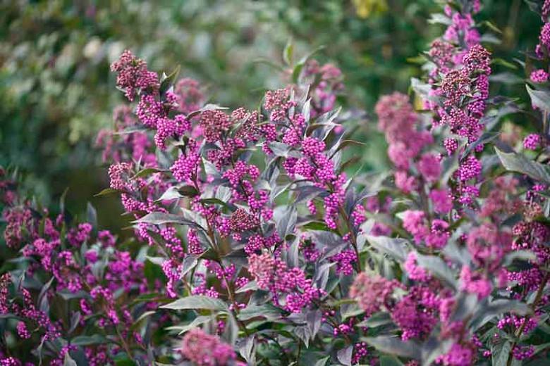 Callicarpa 'Pearl Glam®', Beautyberry 'Pearl Glam®', Purple Beautyberry, Shrub, Purple Berries, Flowering Shrub, Purple Fruit