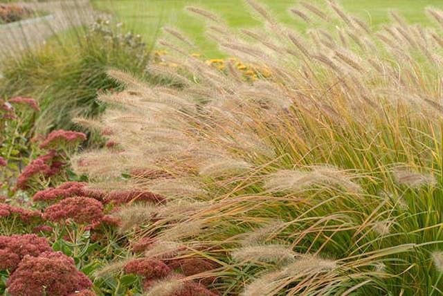 Pennisetum Alopecuroides, Fountain Grass information, Foxtail Grass information, Fountain Grass design ideas, Foxtail Grass design ideas