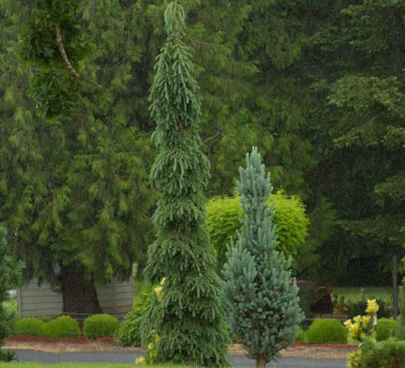 Picea glauca 'Pendula', White Spruce 'Pendula', Weeping White Spruce, Alberta Spruce 'Pendula', Weeping Alberta Spruce, Evergreen Conifer, Evergreen Shrub, Evergreen Tree