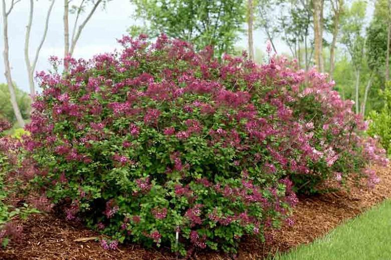 Syringa Bloomerang Purple, Lilac Bloomerang Purple, Bicolor Lilac, Purple lilac, Fragrant Lilac, Syringa x 'Penda'