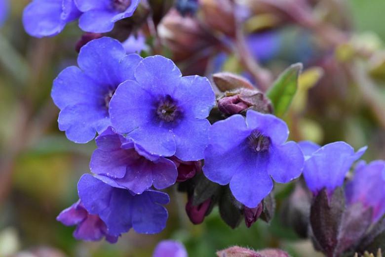 Pulmonaria 'Blue Ensign', Lungwort 'Blue Ensign', Blue Ensign Lungwort, blue flowers, spring flowers