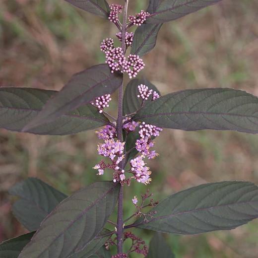 Callicarpa 'Purple Pearls®', Beautyberry 'Purple Pearls®', Purple Beautyberry, Shrub, Purple Berries, Flowering Shrub, Purple Fruit