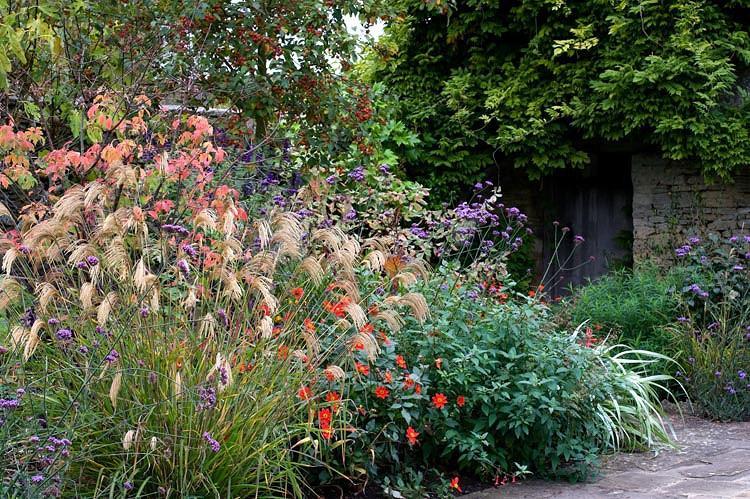 Miscanthus nepalensis, Himalaya Fairy Grass, Drought tolerant plant, Ornamental grass, Low maintenance ornamental grass