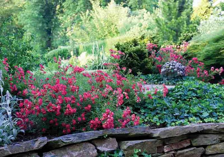 Rosa 'Red Drift®', Rose 'Red Drift®', Rosa 'Meigalpio', Groundcover Roses, Red Roses