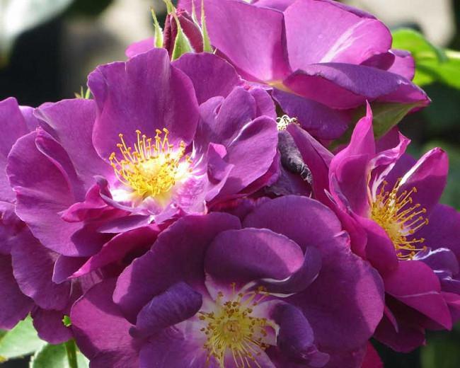 Rosa Rhapsody in Blue, Rose Rhapsody in Blue, Rosa 'FRAntasia', Shrub Roses, Purple Roses, Purple Flowers