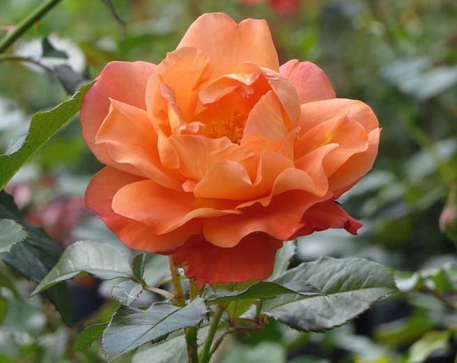 Rosa Westerland, Rose Westerland, Rosa 'Climbing Westerland', Rosa 'KORlawe', Rosa 'KORwest', Climbing Roses, Shrub Roses, Fragrant roses, Orange roses