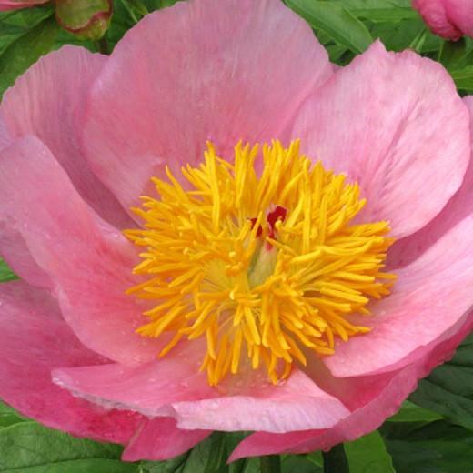Paeonia 'Roselette', Peony 'Roselette', 'Roselette' Peony,Pink Peonies, Pink Flowers, Fragrant Peonies