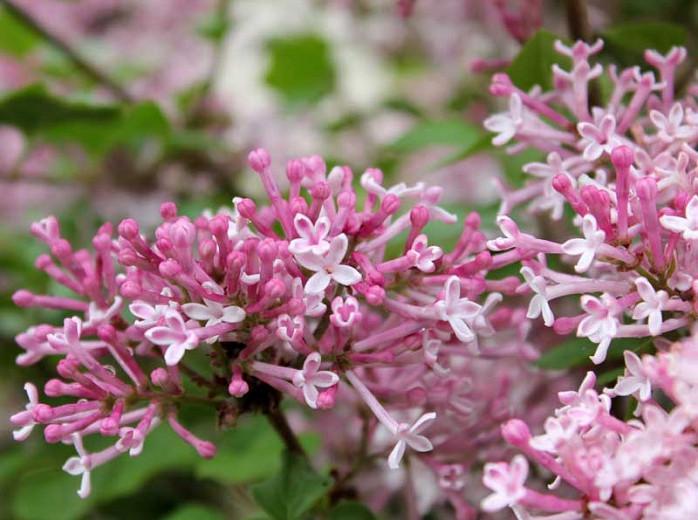 Syringa vulgaris 'Scent and Sensibility',Syringa 'Scent and Sensibility', Lilac 'Scent and Sensibility', Bicolor Lilac, Pink lilac, Fragrant Lilac