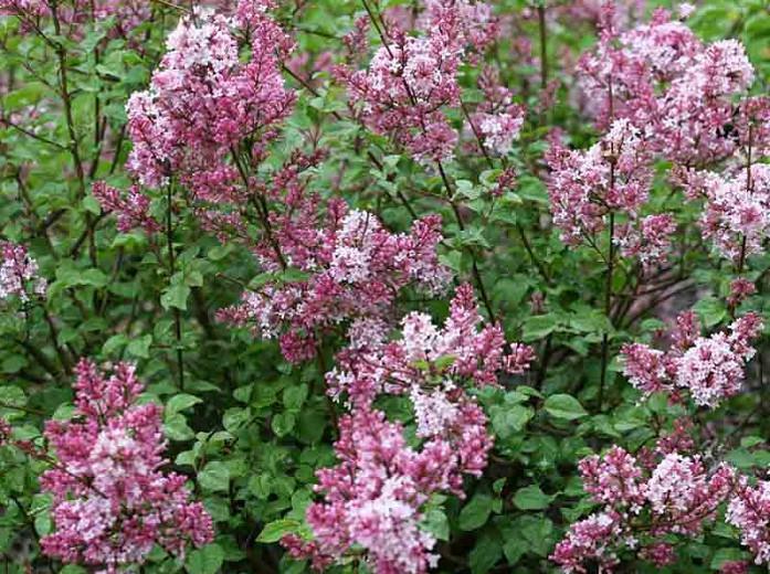 Syringa vulgaris Scent and Sensibility™,Syringa Scent and Sensibility™, Lilac Scent and Sensibility™, Bicolor Lilac, Pink lilac, Fragrant Lilac