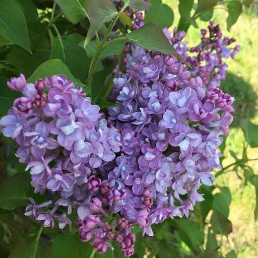 Syringa x hyacinthiflora 'Scentara Double Blue', Syringa 'Scentara Double Blue', Early Flowering Lilac 'Scentara Double Blue', Early Hybrid Lilac 'Scentara Double Blue', Blue lilac, Fragrant Lilac, Blue Flowers, Fragrant Shrub, Fragrant Tree