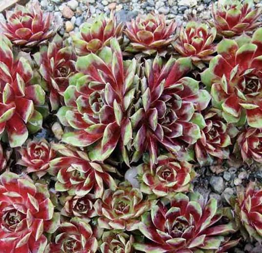 Sempervivum 'Kalinda, Hens and Chicks 'Kalinda', Houseleek 'Kalinda', succulent, evergreen succulent, Red Succulent, drought tolerant perennial, drought tolerant plant