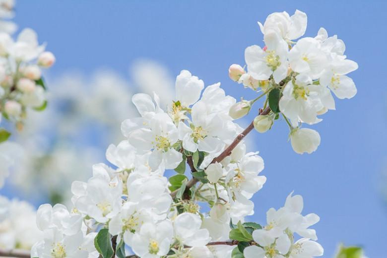 Malus domestica 'Braeburn', Apple 'Braeburn', Braeburn Apple, Malus 'Braeburn', Red Apple, White flowers,