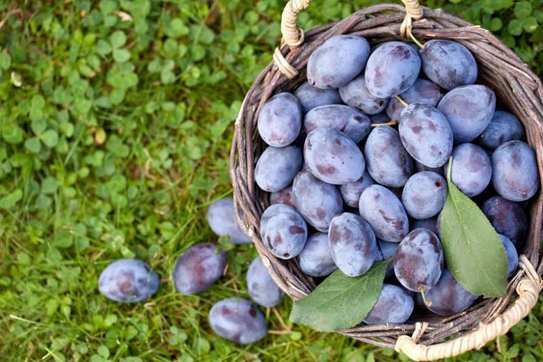 Prunus insititia, Damson, Damson Plum, Mirabelle, Wintercrack, Bullace , Flowering Tree, Fruit Tree