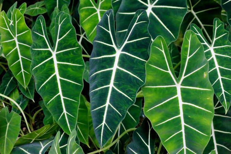 Alocasia amazonica, Amazonian Elephant Ear, African Mask, Evergreen Tropical, Houseplant
