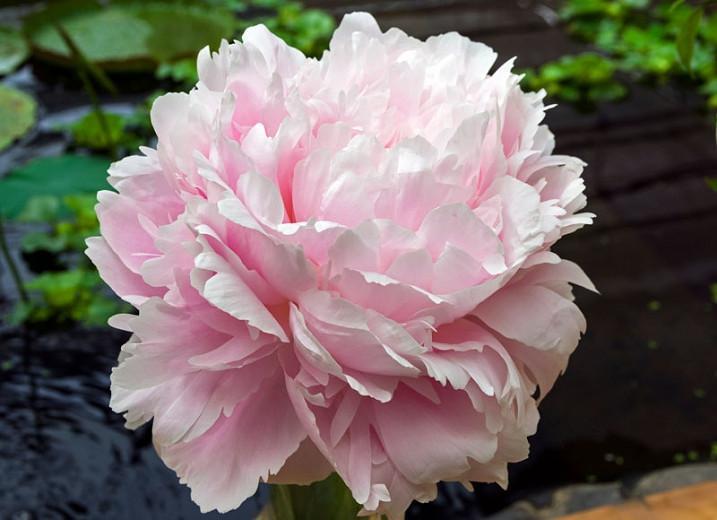 Paeonia Lactiflora 'Pillow Talk', Peony 'Pillow Talk', 'Pillow Talk' Peony, Chinese Peony 'Pillow Talk' , Common Garden Peony 'Pillow Talk', Pink Peonies, Pink Flowers, Fragrant Peonies