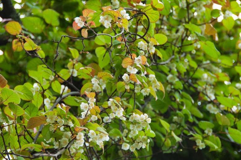 Actinidia polygama, Silver Vine, Variegated Kiwi Vine, Vines, Climbers, Kiwi Vine