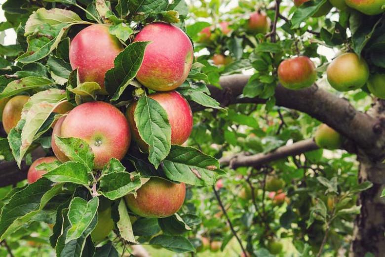 Malus domestica 'Honeycrisp', Apple 'Honeycrisp', Honeycrisp Apple, Malus 'Honeycrisp', Red Apple, White flowers,
