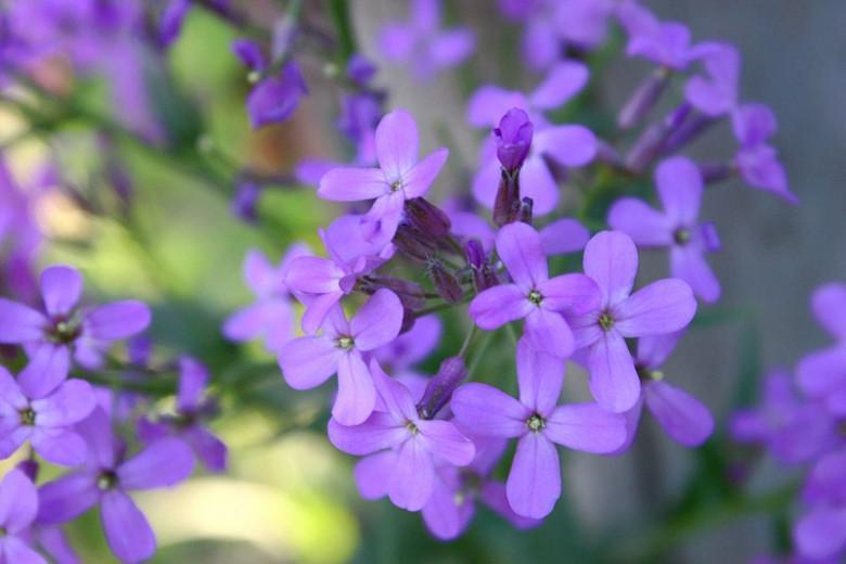 Lunaria Annua, Honesty, Silver Dollar, Dollar Plant, Money Plant, Moonwort, Lunaria, Lunaria Biennis, Dried Flowers, Biennial plant, Purple Flower, Seed Pod