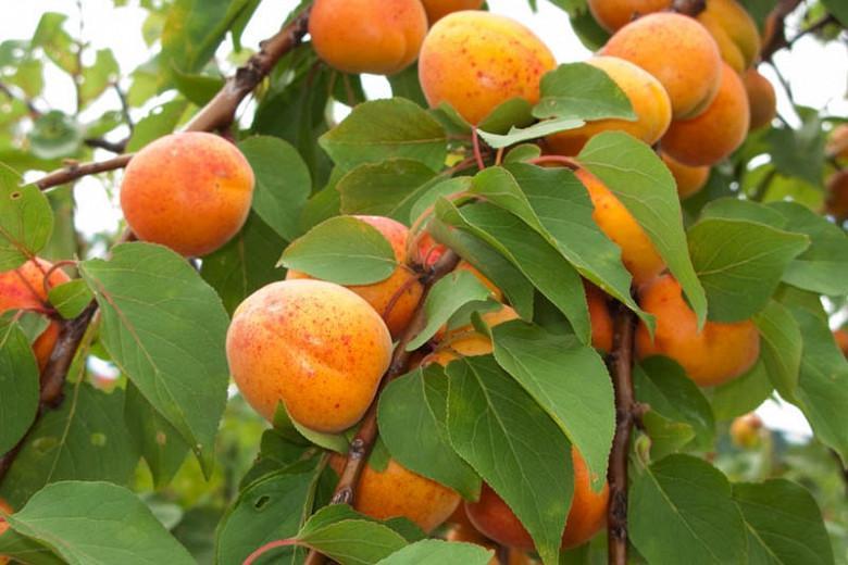 Prunus armeniaca 'Chinese', Apricot 'Chinese', Chinese Apricot, Flowering Tree, Fruit Tree