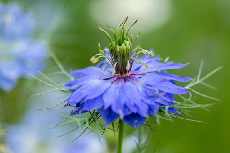 Nigella damascena 'Miss Jekyll Dark Blue', Love-in-a-Mist 'Miss Jekyll Dark Blue', Bird's Nest 'Miss Jekyll Dark Blue', Chase-The-Devil 'Miss Jekyll Dark Blue', Devil in a Bush 'Miss Jekyll Dark Blue', Blue Love in a Mist, Blue Nigella