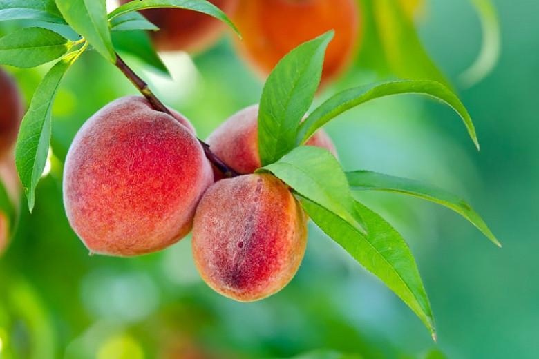 Prunus persica 'Golden Jubilee', Peach 'Golden Jubilee', Peach Tree, Flowering Tree, Fruit Tree