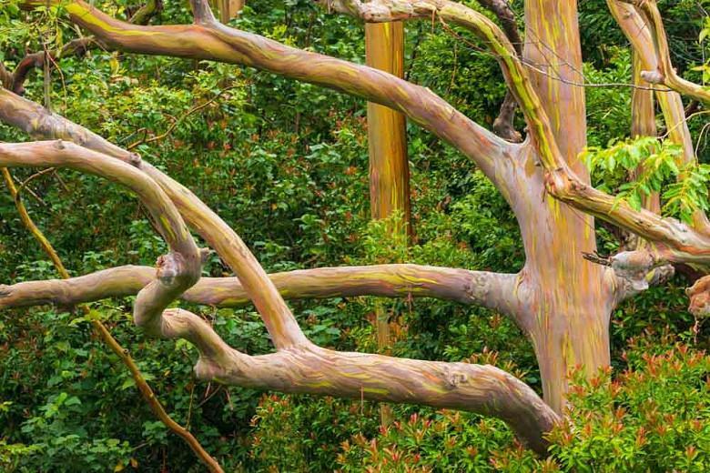 Eucalyptus perriniana, Spinning Gum, Silver Dollar Gum, Round-Leafed Gum, Evergreen Tree, Bark, White Bark
